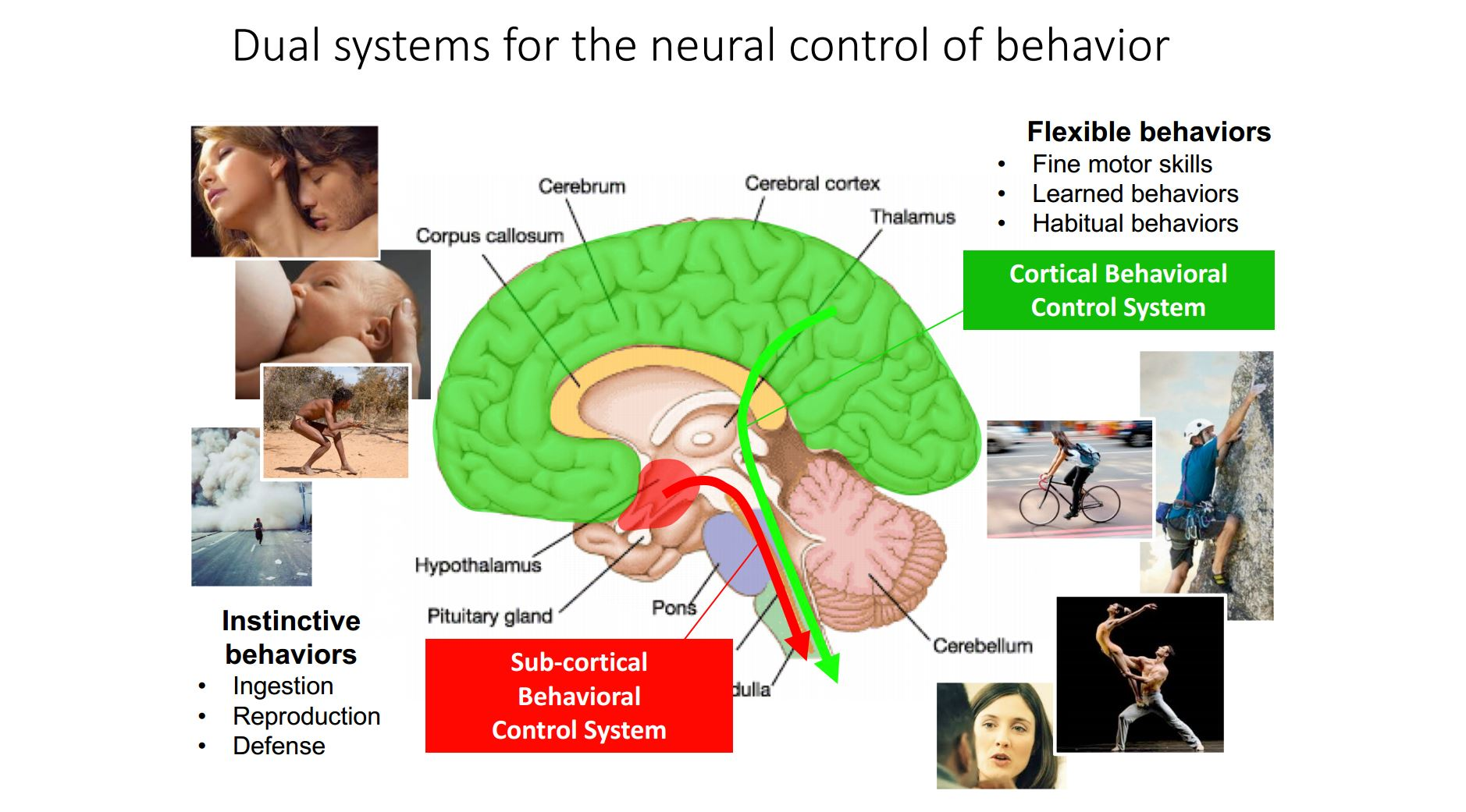 Dual systems for the neural control of behaviour