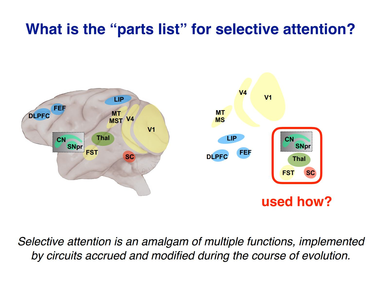 Evolution of selective attention
