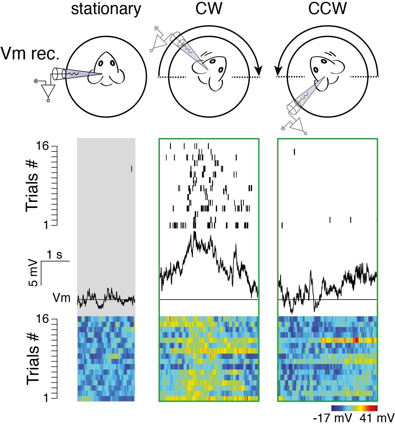 A single neuron recorded in layer 6 of the primary visual cortex showing rotation-evoked responses