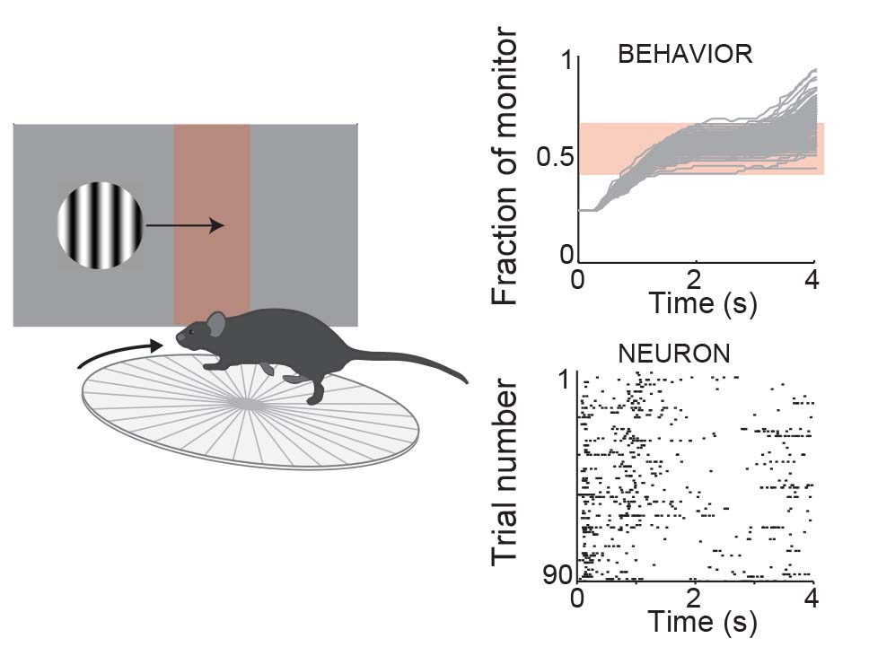 Mouse visual cortex experiment