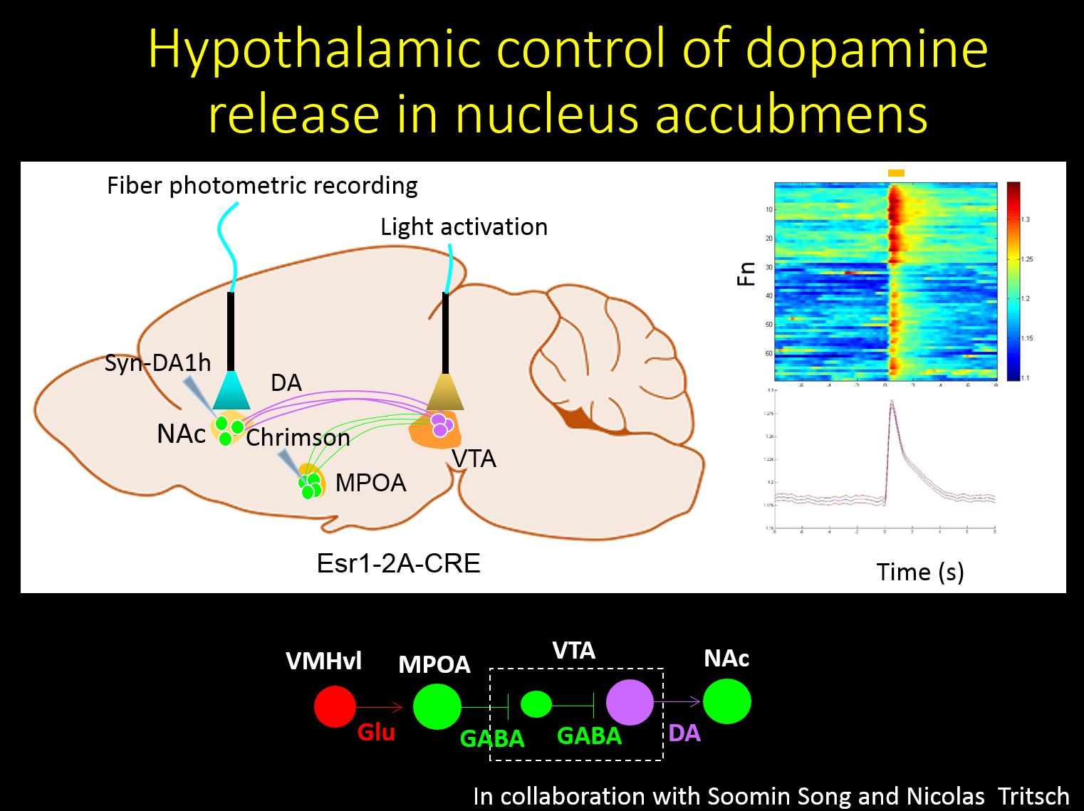 Hypothalamic control of dopamine release in nucleus accumbens