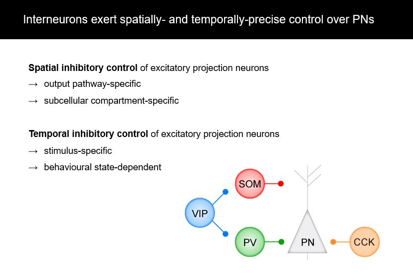 Interneurons exert spatially and temporally-precise control over PNs
