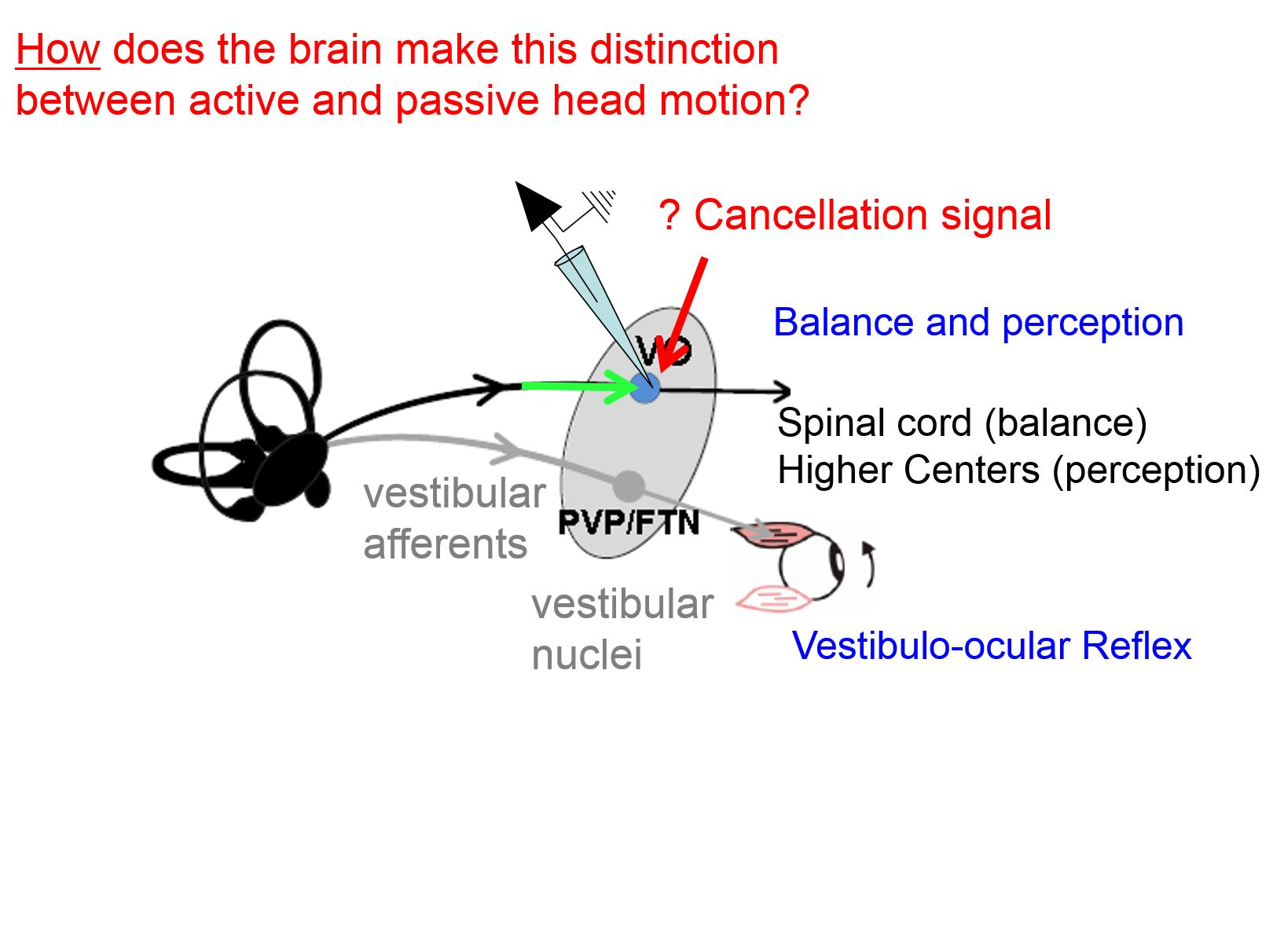 How does the brain make this distinction between active and passive head motion?