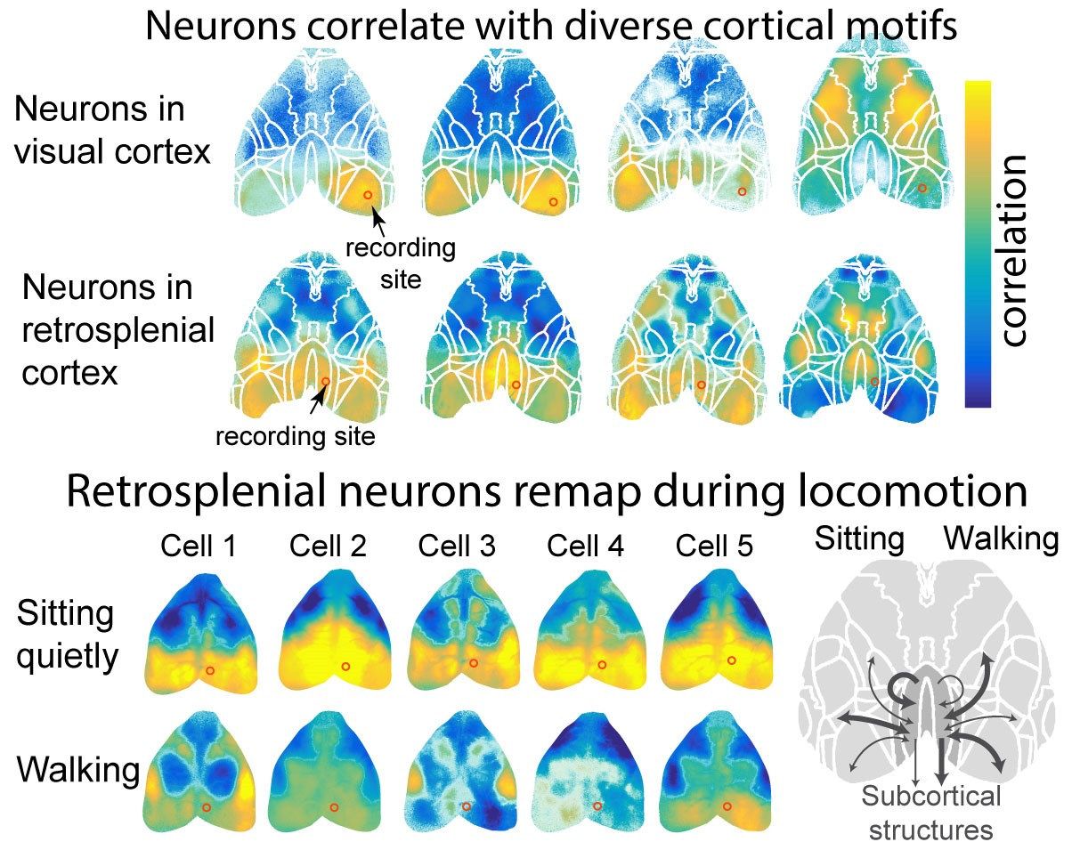 Neurons correlate with diverse cortical motifs