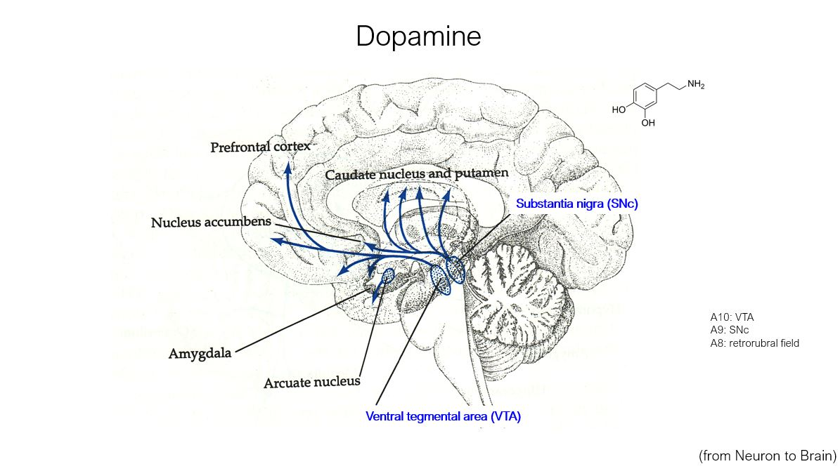 Dopamine structure and brain regions