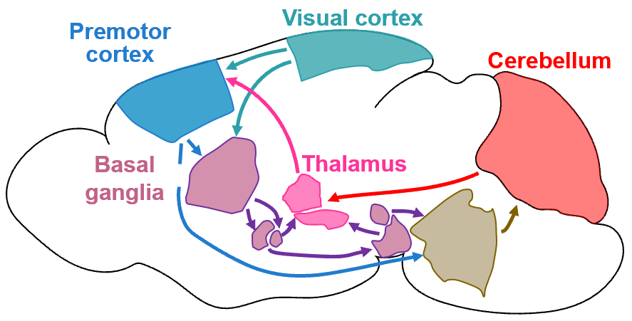 Interconnected brain areas used in visual processing