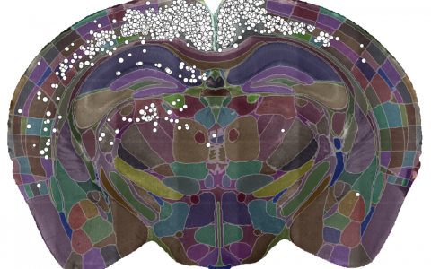 A single slice of the 3D image showing the detected cells (white dots) and the brain divided into regions (coloured sections).