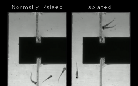 zebrafish raised in isolation vs those raised normally